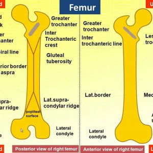 Magdy said anatomy series,lower limb, anatomical features of femur,v.1