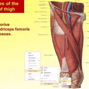 Magdy said anatomy series,lower limb,front of thigh,sartorius,v1